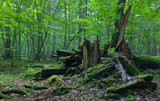 Bialowieza Forest, Belarus and Poland