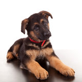 All About German Shepherd Dogs