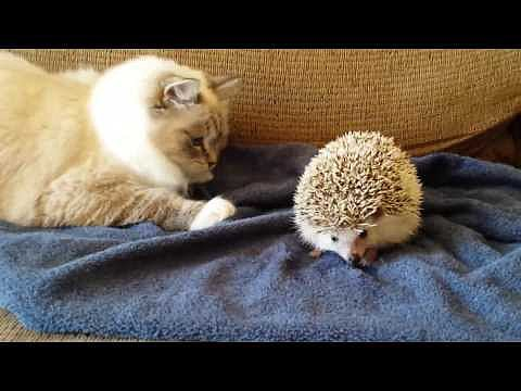 Kitty Sits on Hedgehog | Video