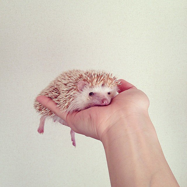 We couldn't resist this cute little hedgehog! Source: Instagram user darcytheflyinghedgehog