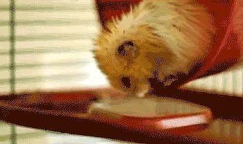 Acrobatic Hamster