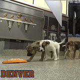 Puppy Cam Puppies Pick the Super Bowl Winner