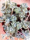 With a dusty white center, this capo blanco succulent ($13) would look great indoors or out.