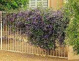 Great Design Plant: Lilac Vine for a Purple Profusion in Winter (7 photos)