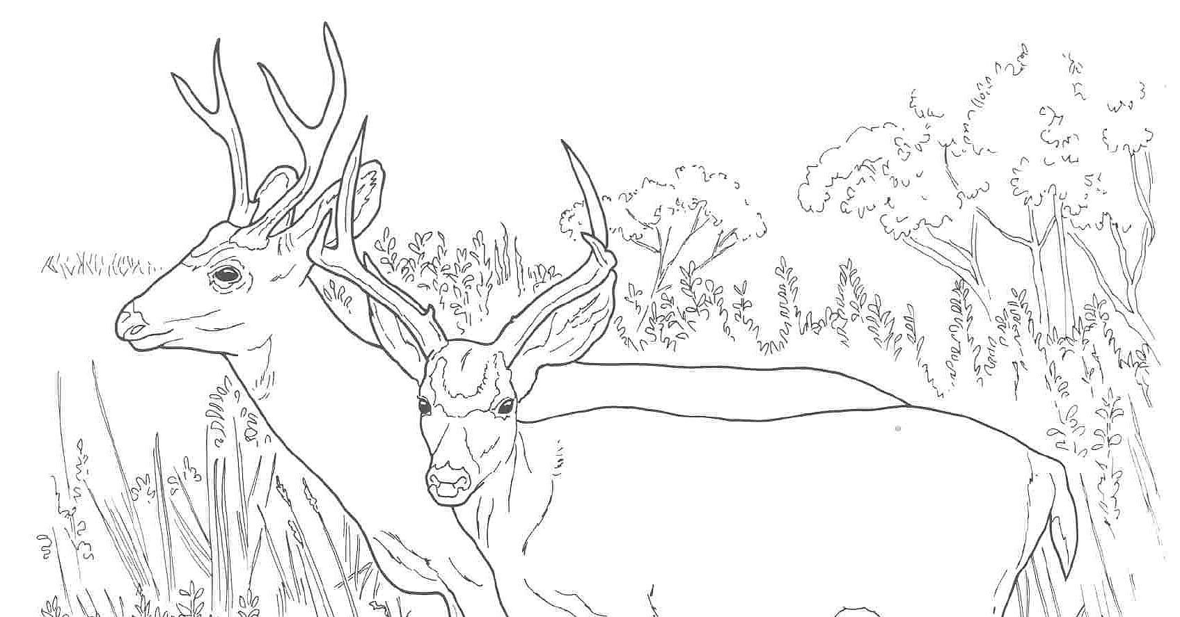 mule deer coloring page - coloring deer antlers images reverse search
