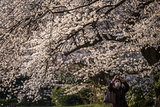 Japan's Cherry Blossoms Are Picture-Perfect Pretty