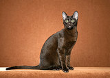 11 Cat Breeds You've Never Heard Of