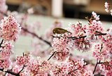 Japan's cherry blossom season arrived, with the flowering trees attracting locals and tourists alike.