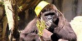 Watch These Gorillas Go On An Egg-Cellent Easter Hunt