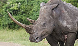 Valuable Rhino Horns Stolen in South Africa