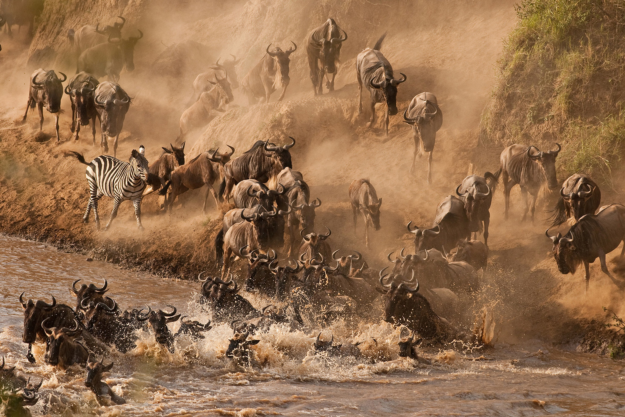 See the Wildebeest Crossing the Mara River