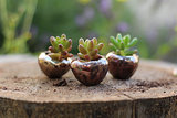 Mini Succulents
