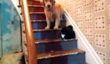 Dog Doesn't Dare to Pass Cat on the Stairs