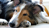 7 Common Ailments in Senior Dogs