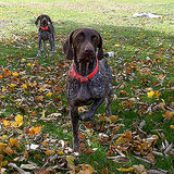 Get to Know the German Shorthaired Pointer: Making the Point on the Hunt and at Home