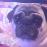 Watch Out for Paranormal Activity Around Your Pug