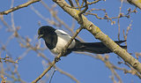 Science Exonerates Theft-Accused Magpies