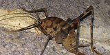 'Nightmarish,' Cannibalistic Cricket Invading Eastern U.S.