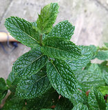 Life In An English Garden: 10 Things to Do With Mint (Even in Autumn)