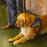 San Francisco Gets a Courthouse Dog to Comfort Witnesses