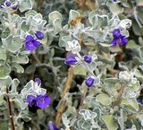 Great Design Plant: Violet Silverleaf Thrives on Scant Water (6 photos)