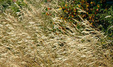 Great Design Plant: Purple Needle Grass, California's State Grass (6 photos)