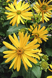 Great Design Plant: Silphium Perfoliatum Pleases Wildlife (6 photos)