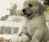Golden Retriever Puppies Have Their First Fall