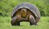 Galapagos Island Giant Tortoises Stage a Comeback