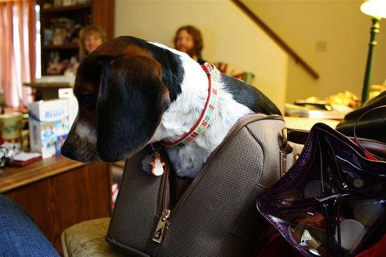 Mazie Beagle