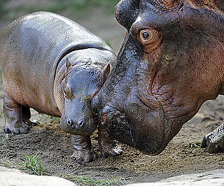 Hi, Kumba — This Big Hippo Babe Measures Up!
