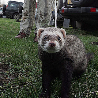 Do You Know Anyone With a Pet Ferret?