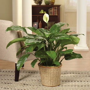 A peace lily is an easy-to-grow indoor plant. You can buy it online or at your local nursery.