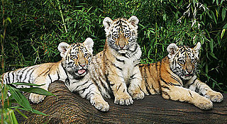 Sugar Shout Out: Nuremberg Zoo Debuts Siberian Tiger Cubs!