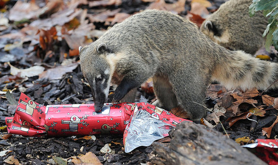 London Zoo Animals Get Early Christmas Presents!