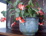 If given a little TLC, a Christmas cactus will actually bloom several times in a year.  Source: Flickr User gurdonark