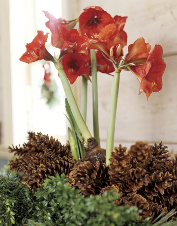 After your amaryllis bulbs have bloomed arrange them with for Amaryllis christmas decoration