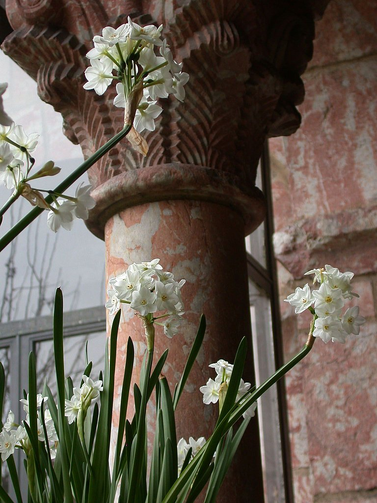 Forcing paperwhites, or narcissus, is another way to add holiday flowers to your home.  Source