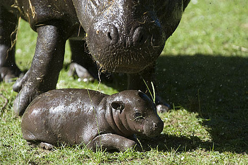 Baby Pygmy Hippo Born in Scotland