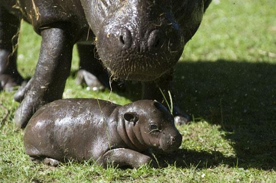 Photos of a Baby Pygmy Hippo Born in Scotland
