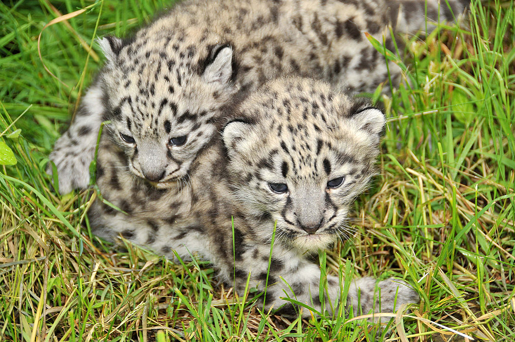 Photos of Baby Snow Leopards
