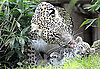 Judge These Baby Leopards by Their Baby Spots