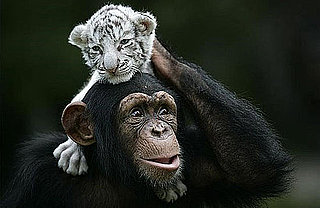 Chimp Snuggles With Baby Tigers: In the LINK of an Eye!