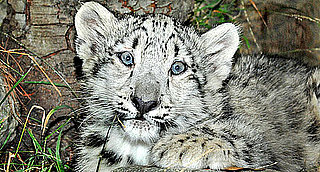 Sneak Peek! Meet LA Zoo's New Snow Leopards