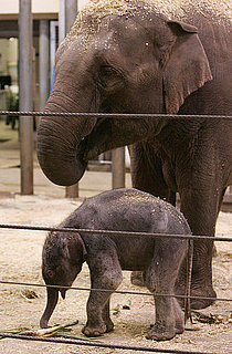 Sugar Shout Out: Sydney's Taronga Zoo Has a Baby Elephant