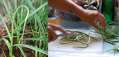 Learn to Love: Garlic Scapes