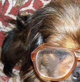 Dog wears glasses