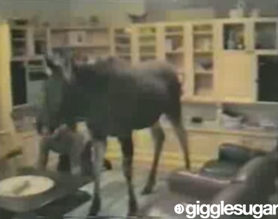 Moose Lives in a House