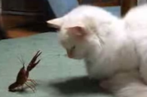 Crawfish vs. Cat