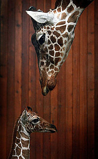 Creature Features: Giraffes
